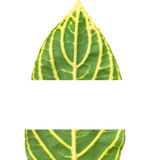 The leaf section Stock Image