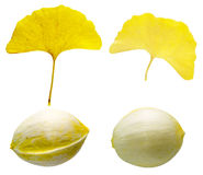 The leaf and seed of ginkgo Stock Photography