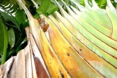 The banana plantain with regular rows of veins stock photography
