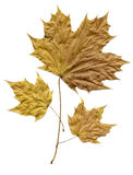 A leaf shed in autumn. Royalty Free Stock Images