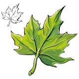 Leaf. Single colorful tree leaf on white Stock Photo