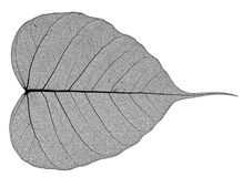 A leaf Royalty Free Stock Photography