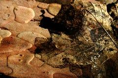 Leaf skeleton Stock Image