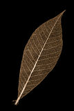 Leaf skeleton. An orange leaf skeleton on a black background royalty free stock images