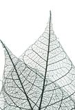 Leaf skeleton. A photograph of a leaf against a light box, showing the delicate skeleton inside Royalty Free Stock Image