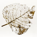 Leaf Skeleton Royalty Free Stock Photos