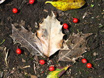 Leaf skeleton/veins fall weather. Fall leaves texture with red berries around on fertile soil background Stock Photo
