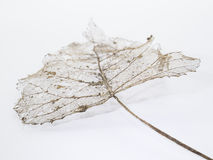 Leaf skeleton with veins and stalk. Delicate skeleton of tree leaf with veins Stock Photos