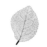 Leaf skeleton Royalty Free Stock Image