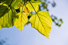 Leaf on sky Royalty Free Stock Photography