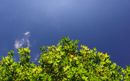 The leaf and sky. The leaf and clear sky with top view Stock Photography