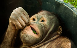 Leaf snacking Orangutan 2. A detailed shot of an orangutan eating green leaf Stock Photography
