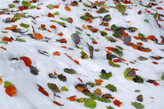 Leaf on snow. Snow fell earlier than usual. The trees are still preserved leaves Royalty Free Stock Image