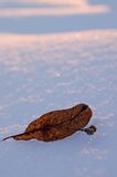 Leaf on snow Stock Photos