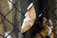 Leaf and snow Royalty Free Stock Images