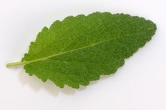 Leaf of spicy sage. Plant medicinal on a white background close-up macro photography royalty free stock photo
