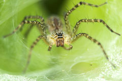 Leaf Spider Royalty Free Stock Photography