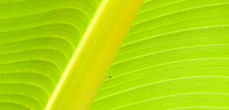 Leaf Spine. Spine of part of a single large leaf of a species of banana tree, Ensete Superbum Royalty Free Stock Images