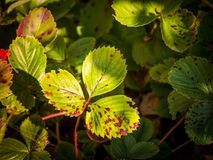 Leaf spots on strawberries caused by Mycosphaerella fragariae. Photos shows leaf spots on strawberries caused by a common fungi called Mycosphaerella fragariae Royalty Free Stock Photography