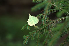 The leaf on the spruce branches. Royalty Free Stock Image