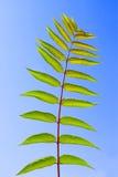 Leaf of Staghorn sumac stock photos