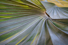 Leaf stalk lines of Borassus flabellifer tree Royalty Free Stock Photography