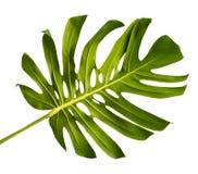 Leaf stem of Monstera stock photo