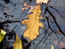 A leaf on still water Royalty Free Stock Images