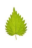 Leaf of Stinging nettle isolated on white Stock Images