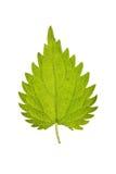 Leaf of Stinging nettle isolated on white stock images
