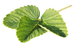 Leaf of a strawberry Stock Photography