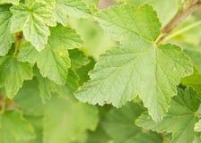 Leaf strawberry, garden, texture,botany, Royalty Free Stock Photo
