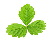 Leaf of strawberry Royalty Free Stock Photos