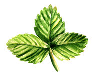 Leaf of strawberry Royalty Free Stock Photography