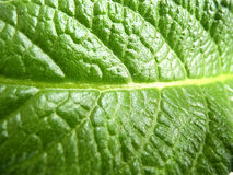 Leaf of Streptocarpus. Green leaf of Streptocarpus with well visible streaks, macro Stock Photo