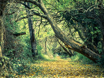 Canopy of Trees over an Autumn Forest Path Royalty Free Stock Photo