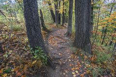 Leaf strewn hiking path winding through forest of tall trees and Royalty Free Stock Photos