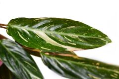 Leaf of `Stromanthe Sanguinea Magicstar` plant leaves with white variegation spot pattern on top and dark pink leaf bottom on whit