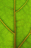 Leaf structure. Cells bright green illuminated Stock Photos