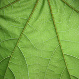 Leaf structure. Green leaf closeup with visible structure Royalty Free Stock Images