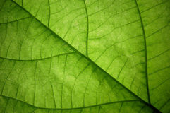 Leaf, structure Royalty Free Stock Images