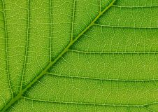 Leaf structure abstract texture. A green leaf abstract macro photo with its main center vein rising at forty five degrees and subveins extending almost straight Stock Images