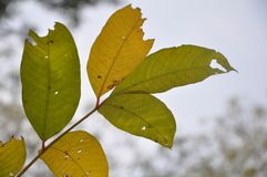 Leaf. Structure and arrangement is unique to every tree species. A tree  shape, arrangement, margin and venation is important to tree ID Stock Image