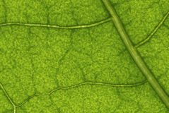 Leaf structure Royalty Free Stock Photography