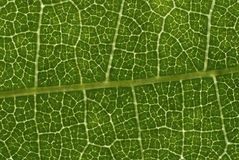 Leaf structure Royalty Free Stock Photos