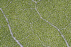 Leaf structure Stock Images