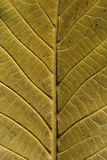 Leaf structure underside. Autumn leaf vein structure underside green color as background royalty free stock photos