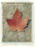 Leaf Study #1. Polaroid of maple leaf with brushed background Royalty Free Stock Images