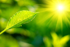 Leaf and sun Stock Photo