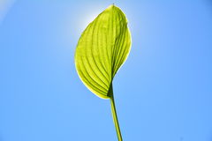 Leaf in the sun. Royalty Free Stock Photography
